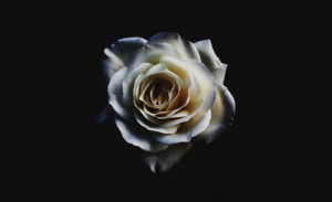 róża - depresja